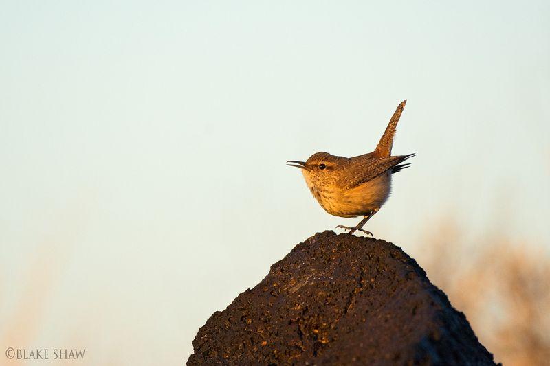 Rock wren pinacate