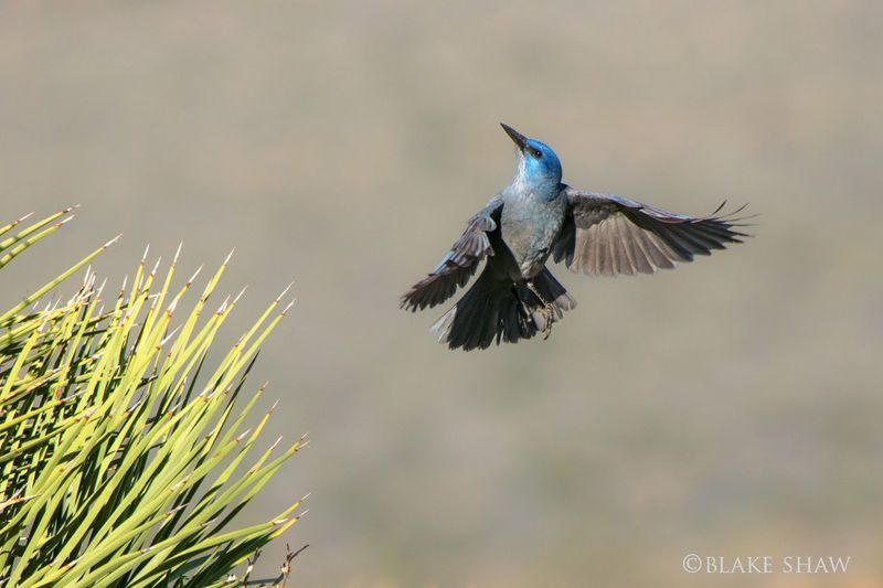 Pinyon jay 2 copy