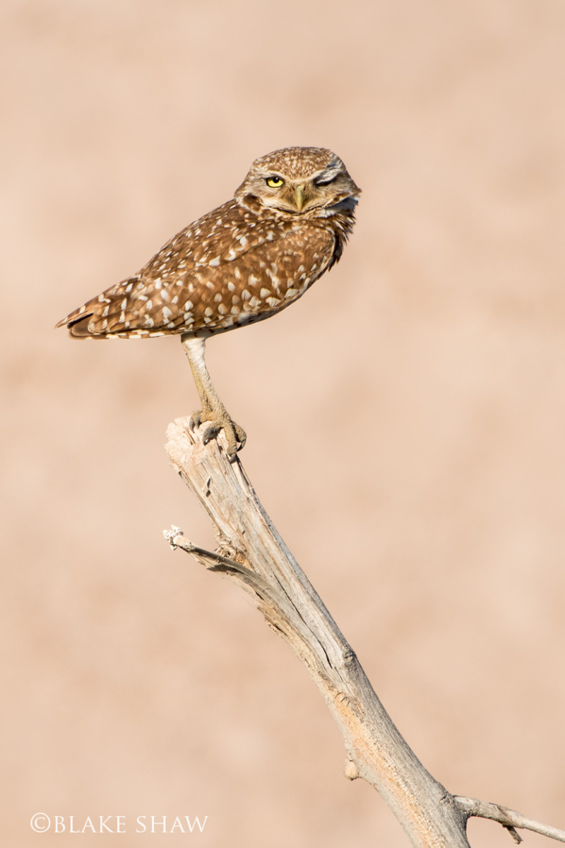Burrowing owl wink