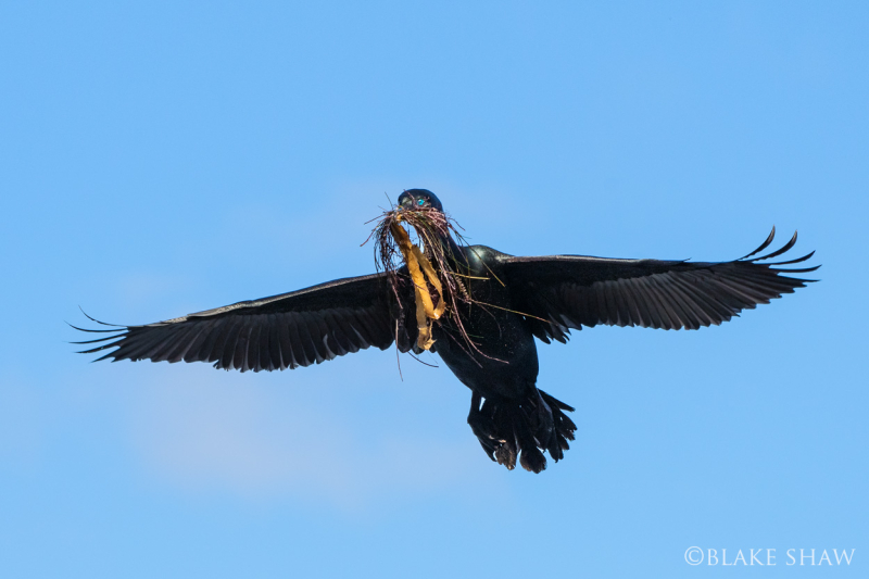 Brandt's cormorant flying