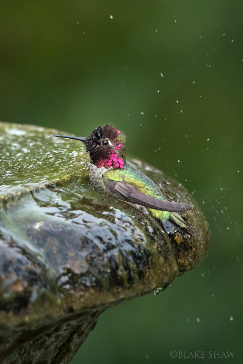 Anna's hummingbird bath copy