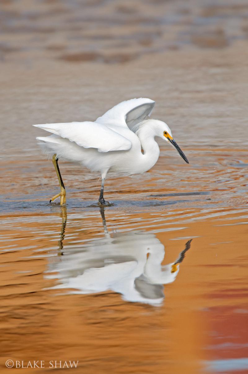 Snowy egret san felipe