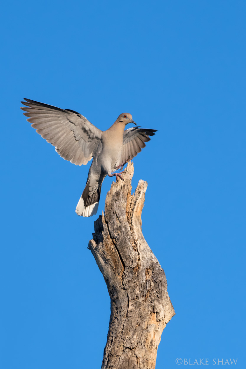 White-winged dove 2