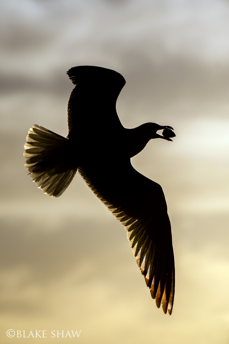 Ring-billed gull silhouette