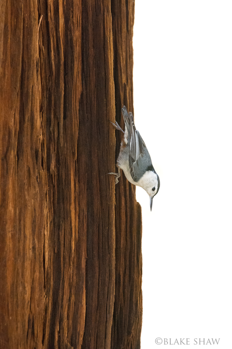 White-breasted nuthatch copy