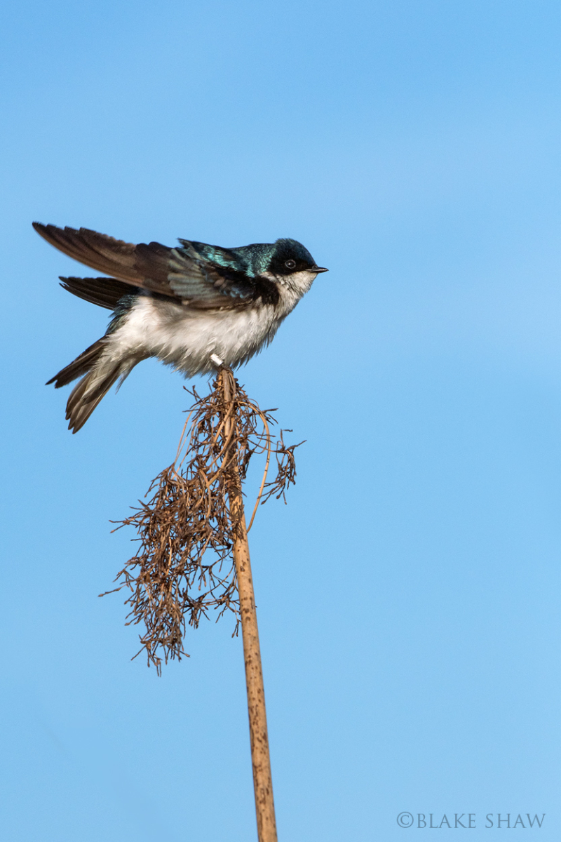 Tree swallow san joaquin
