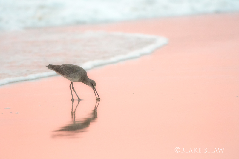 Willet imperial beach