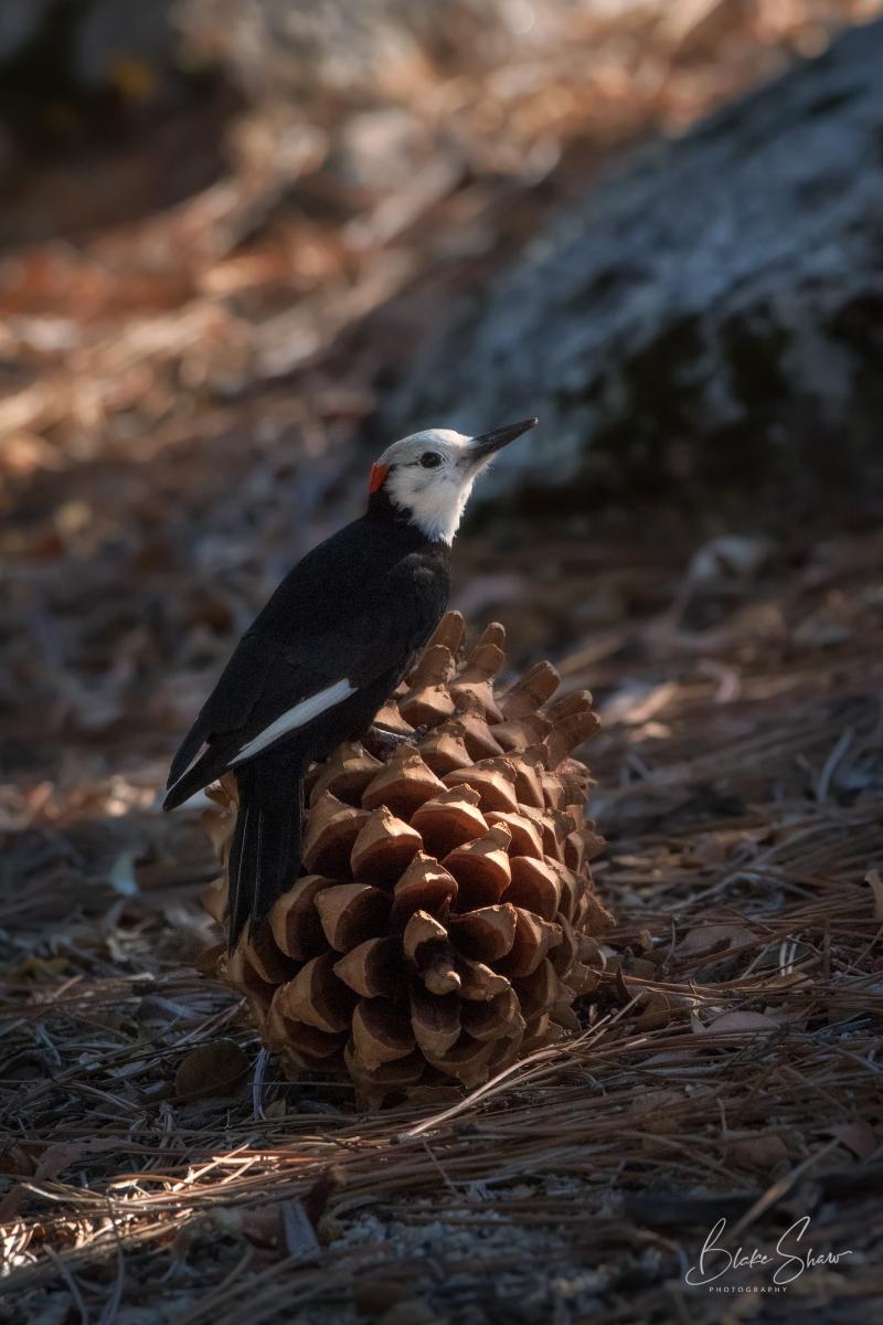 White-headed woodpecker pinecone idyllwild copy