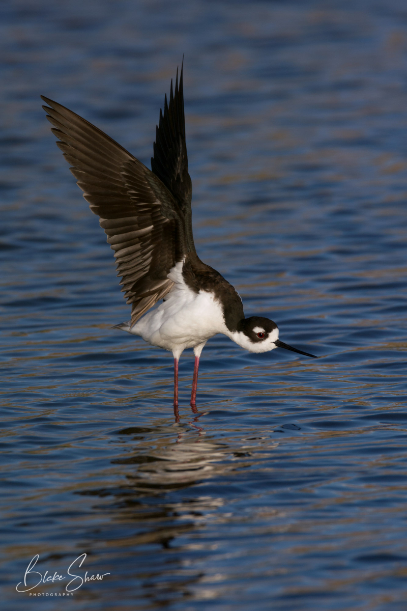 Black-necked stilt san joaquin