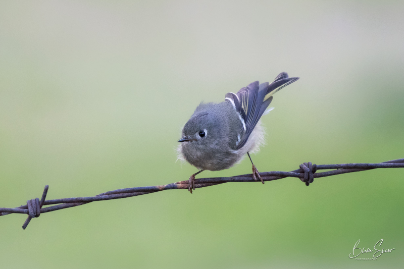 Ruby-crowned kinglet chino