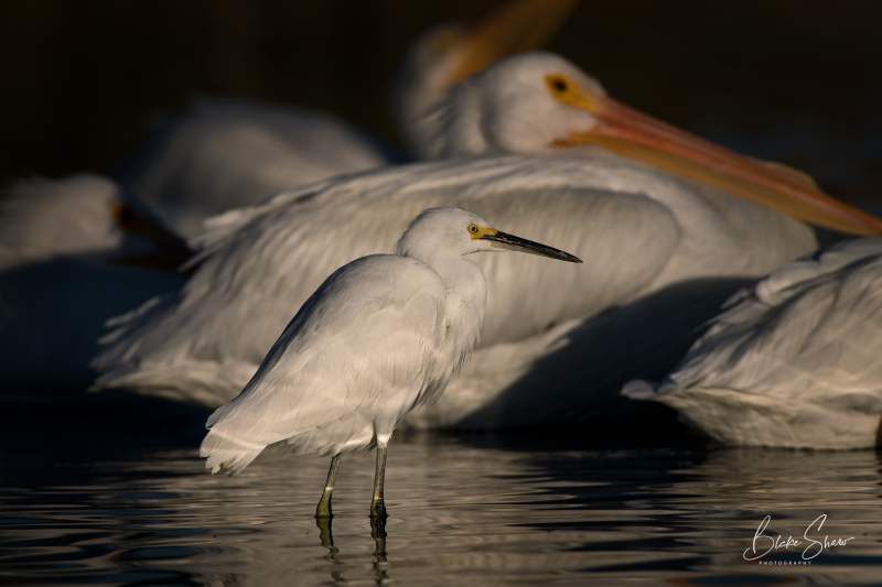 Snowy egret and white pelicans