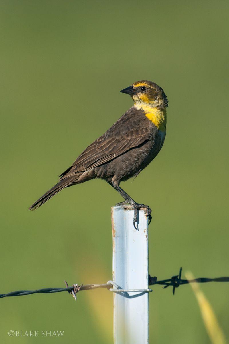 Yellow-headed blackbird female 2