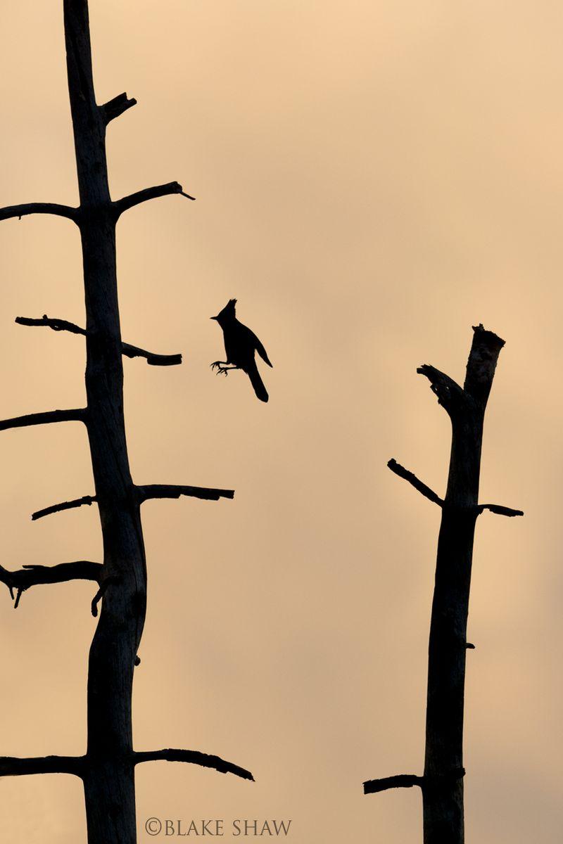 Steller's jay silhouette