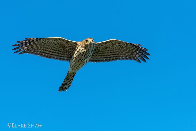 Cooper's hawk flight