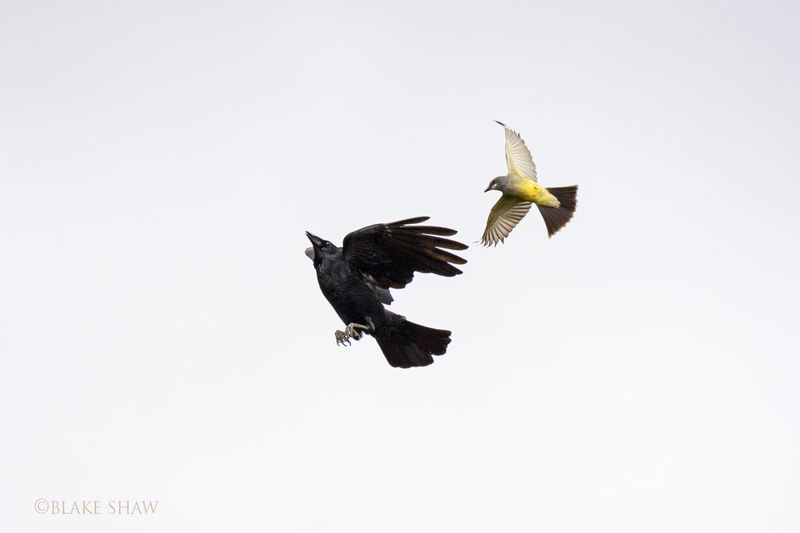 Cassin's kingbird and crow