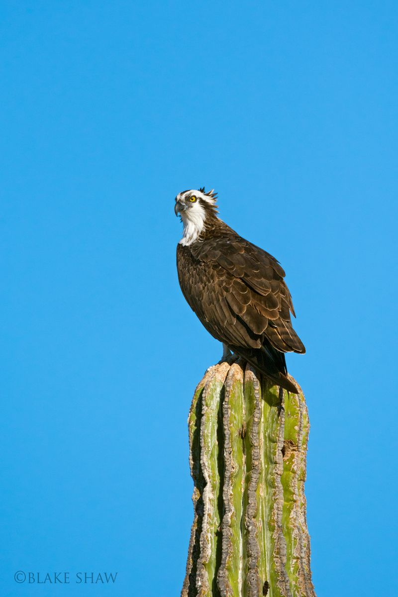 Osprey on cardon