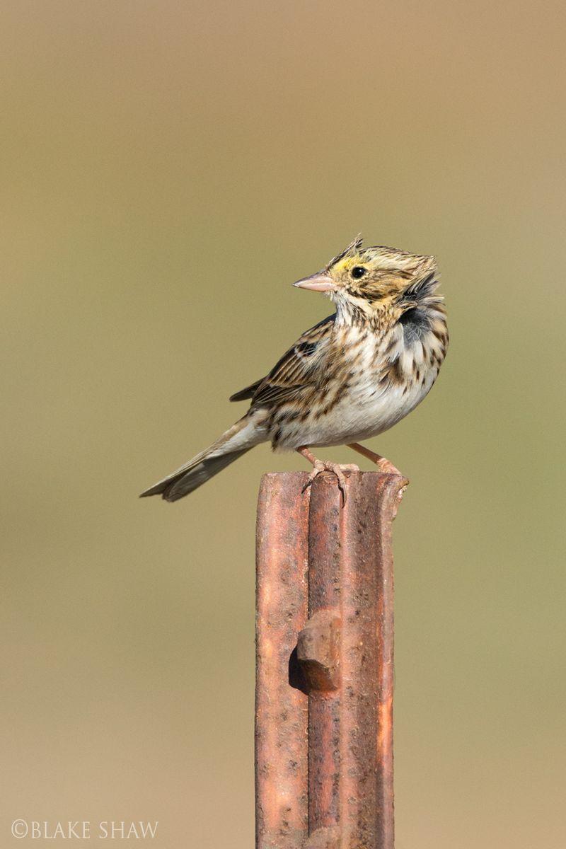 Savannah sparrow davis road