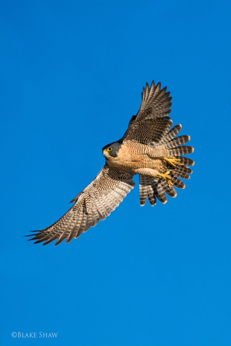 Peregrine falcon salton sea