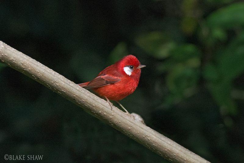 Red warbler 2