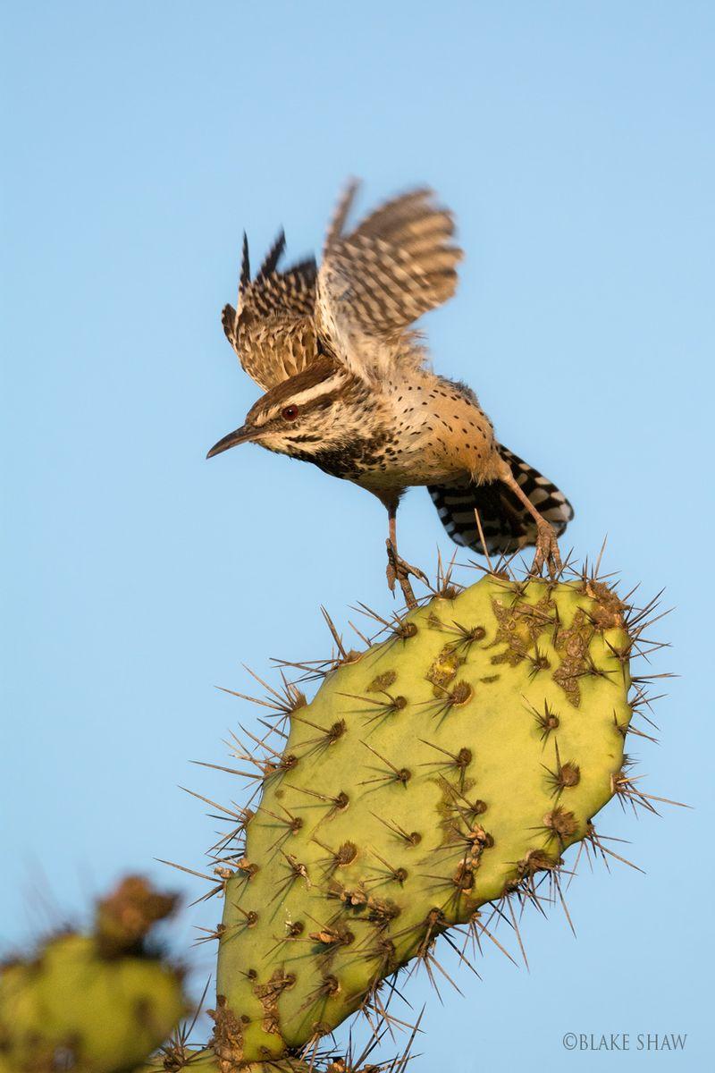 Cactus wren flight