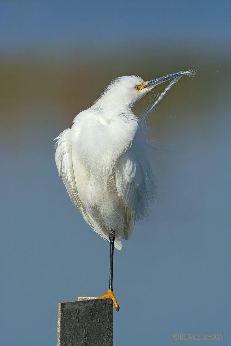 Snowy egret preening san joaquin copy