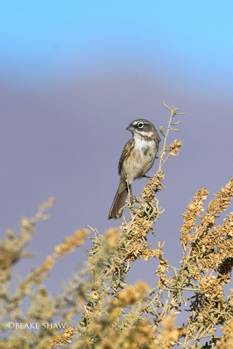 Sage sparrow borrego