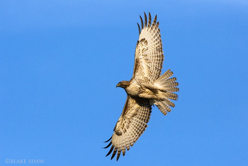 Red-tailed hawk 2 copy