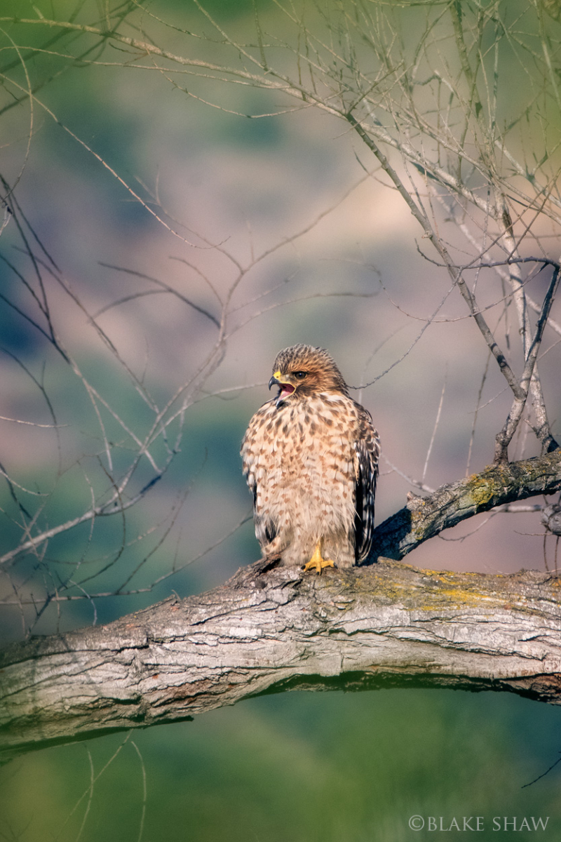 Red-shouldered hawk juvenile