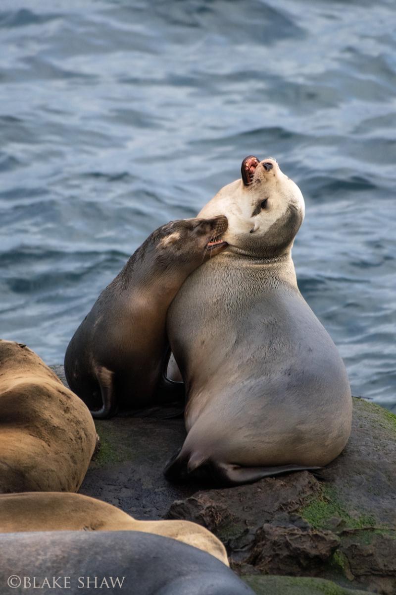 Sea lions la jolla copy