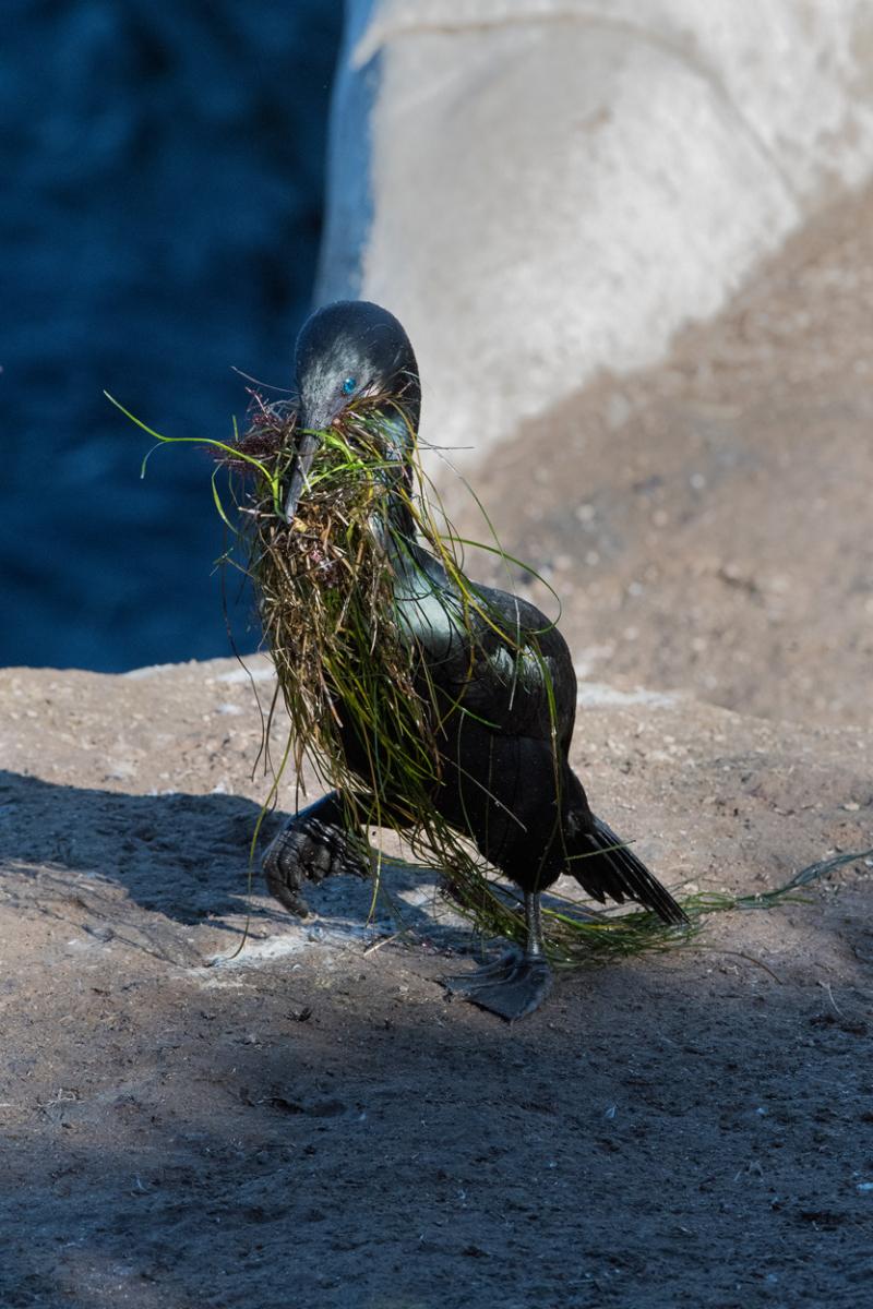 Brandt's cormorant nesting material 2