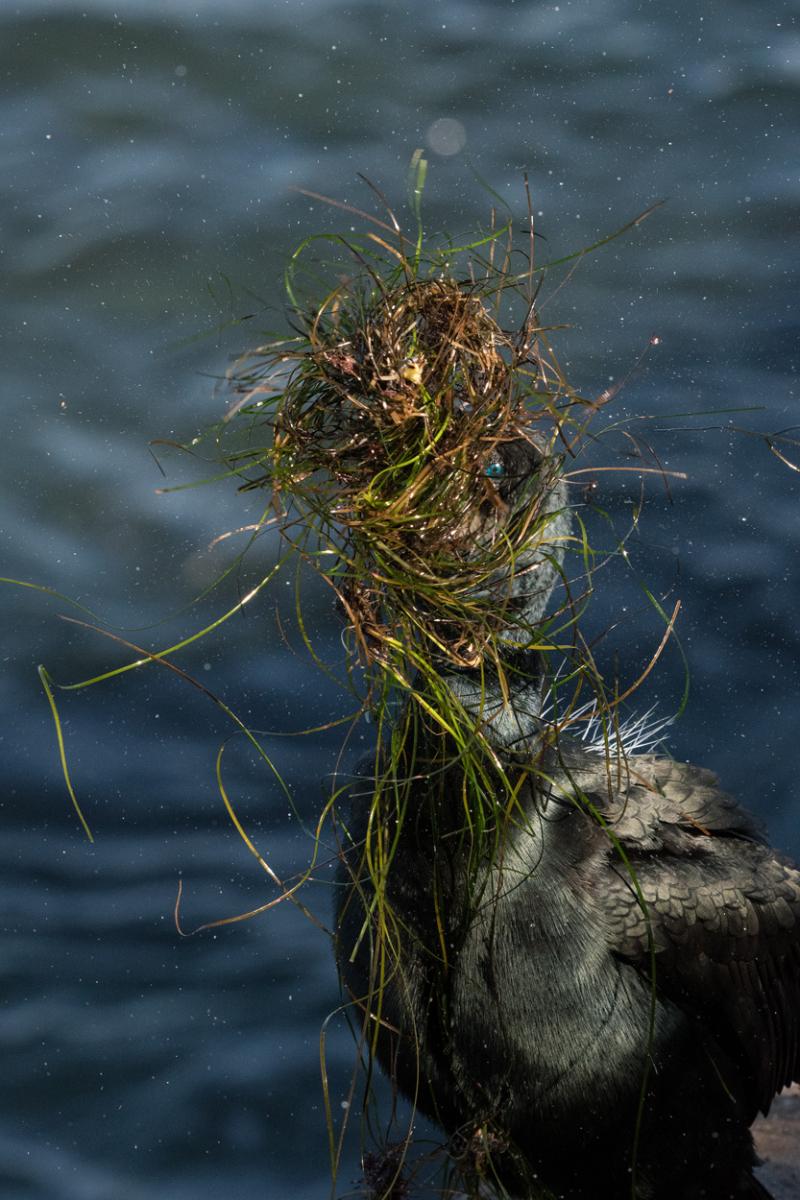 Brandt's cormorant nesting material 4