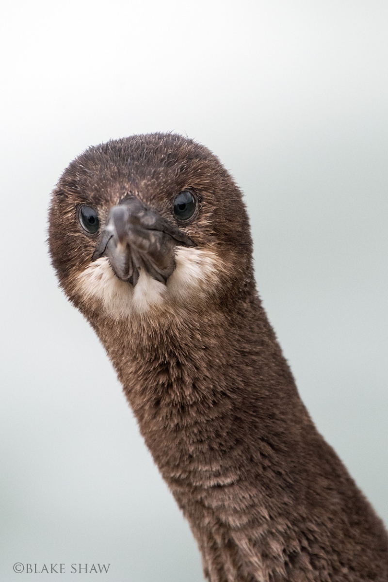 Brandt's cormorant juvenile