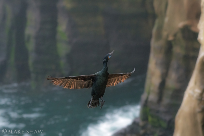 Brandt's cormorant cliff