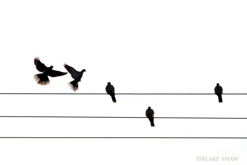 Eurasian collared-doves silhouette