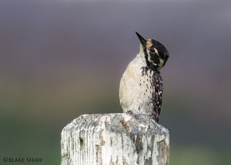 Nuttall's woodpecker female