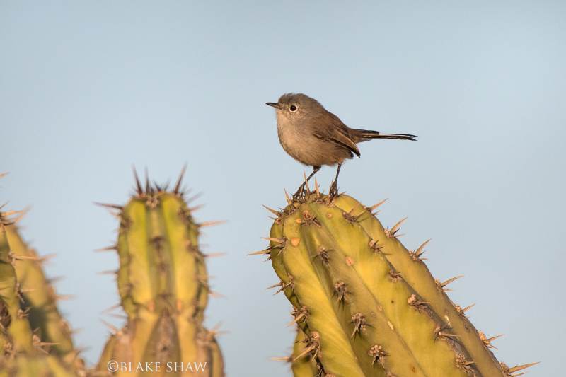 California gnatcatcher camalu 2