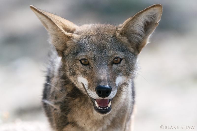 Coyote san pedro martir