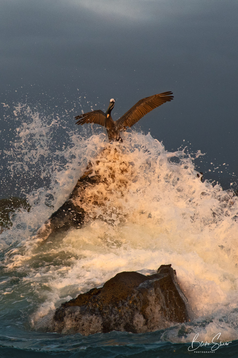 Brown pelican san blas 2