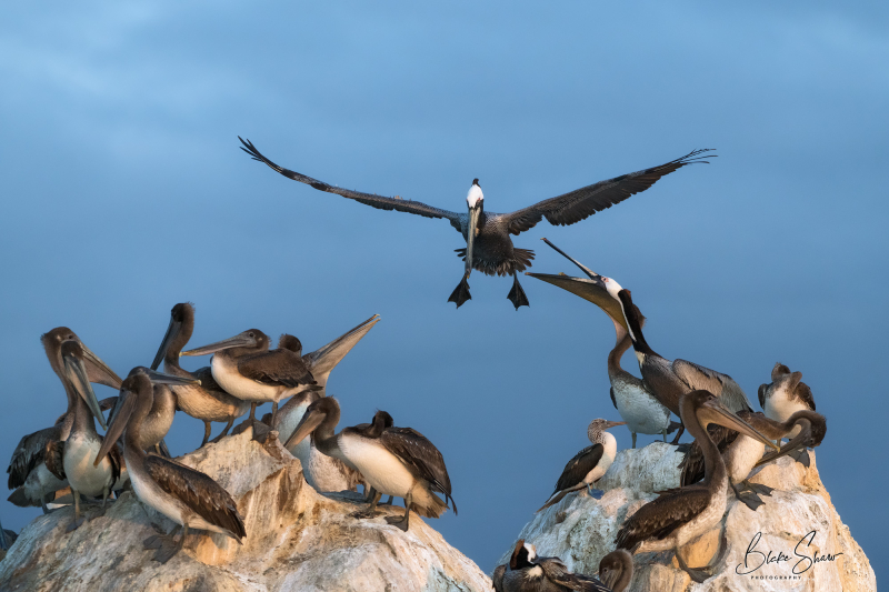 Brown pelicans san blas 3