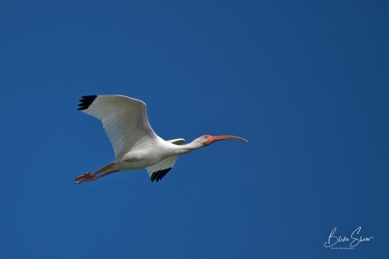 White ibis san blas