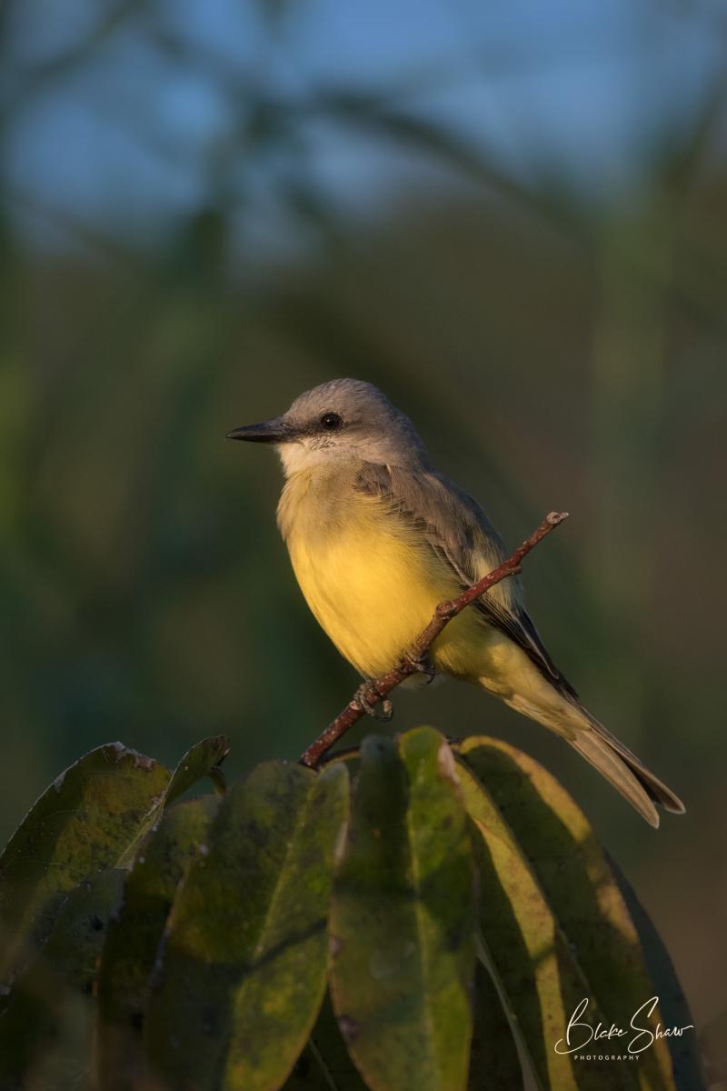 Tropical kingbird san blas