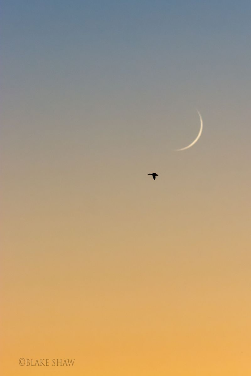 Duck and moon