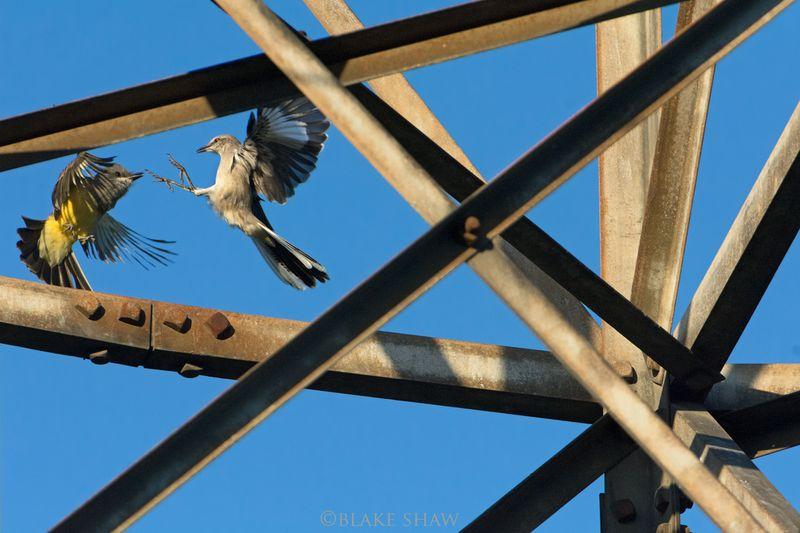 Kingbird and mockingbird