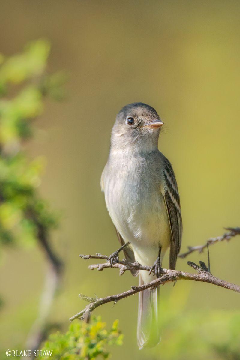 Dusky flycatcher oaxaca
