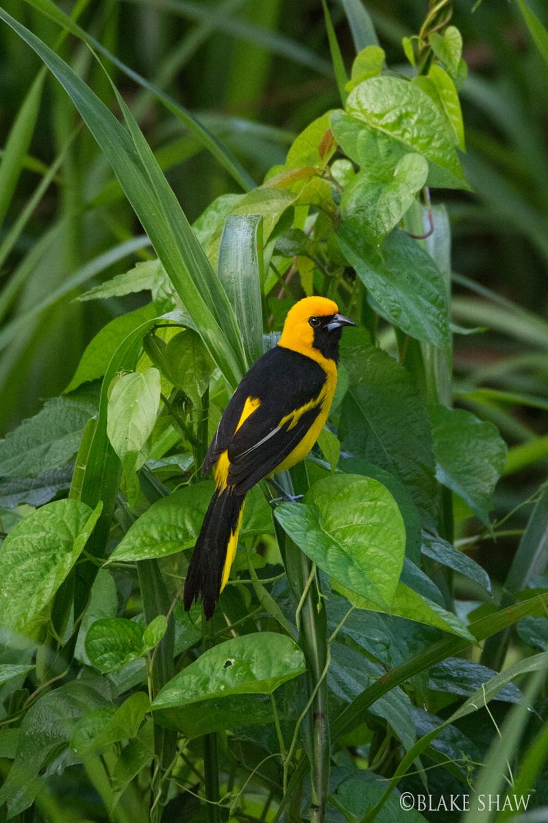Yellow-tailed oriole copy