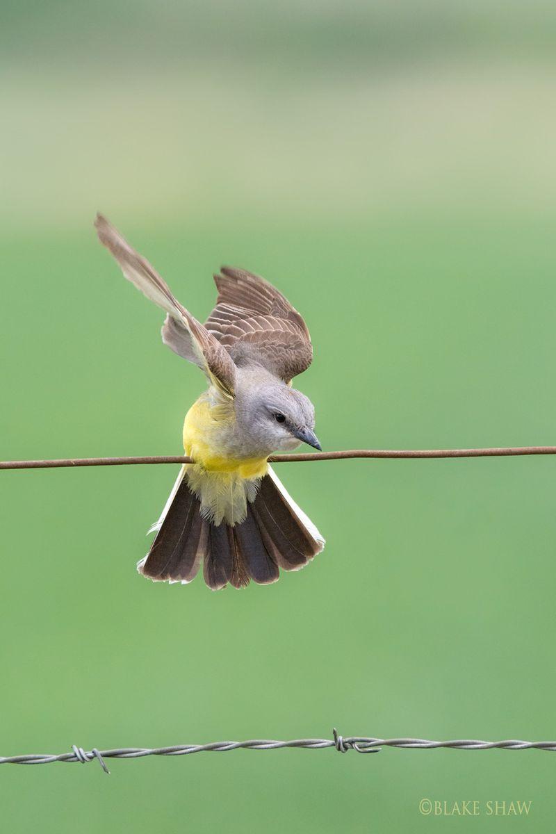 Western kingbird 2
