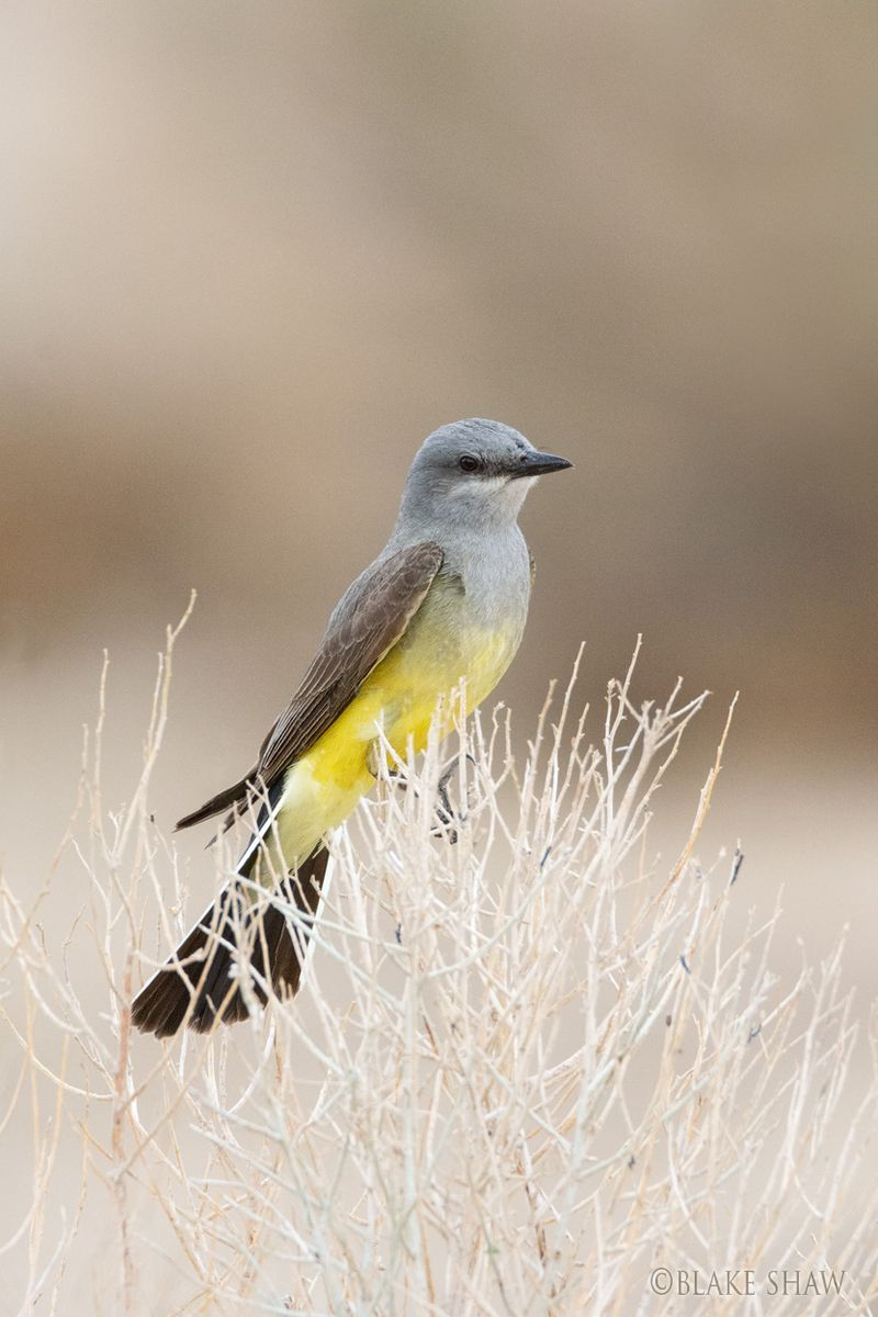 Western kingbird 3