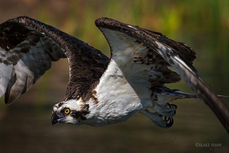 Osprey santee lakes