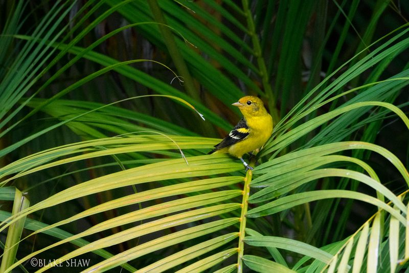 Western tanager winter