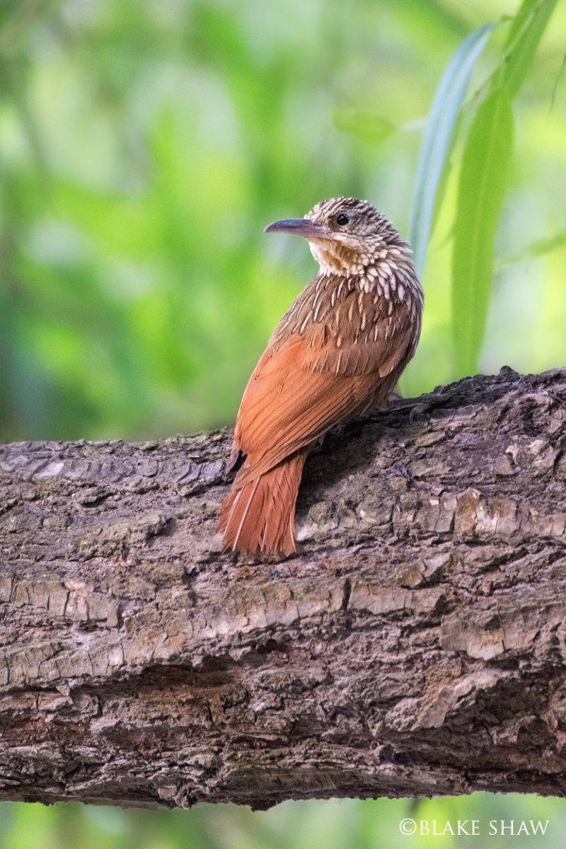 Ivory billed woodcreeper